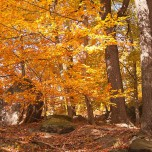 Herbstlicher Buchenwald II