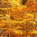Herbstliche Buche II