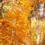 Herbstlicher Buchenwald IV