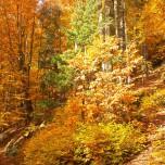 Herbstlicher Buchenwald VI