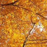 Herbstliche Buche III
