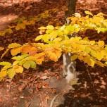 Herbstliche Buchenblätter