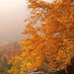 Herbstliche Buche IV