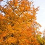 Herbstliche Buche V