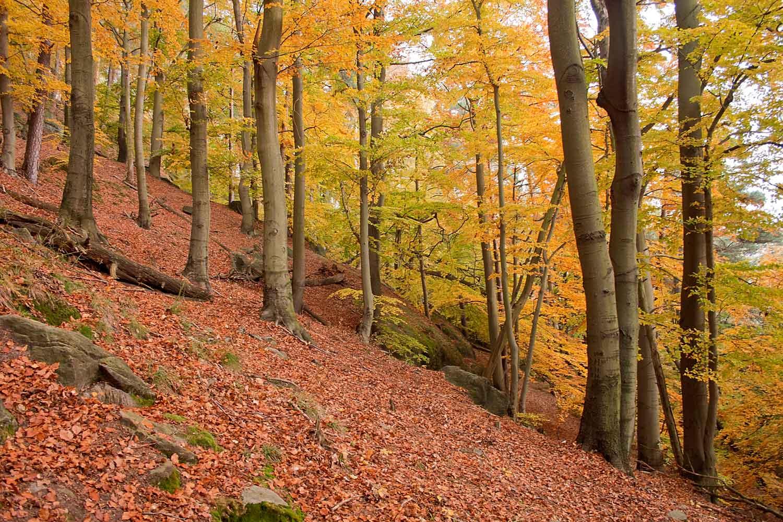 Herbstlicher Buchenwald VIII
