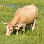 Kuh im Wasser I