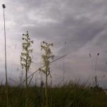 Platanthera chlorantha I