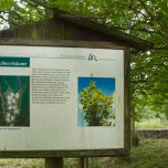 Maulbeerbaum I