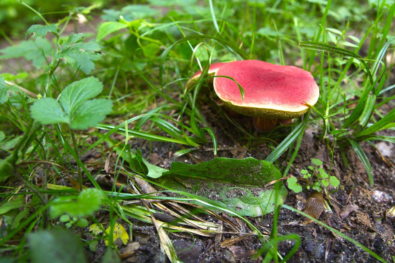 Leuchtend roter Pilz