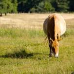 Przewalski-Pferd II