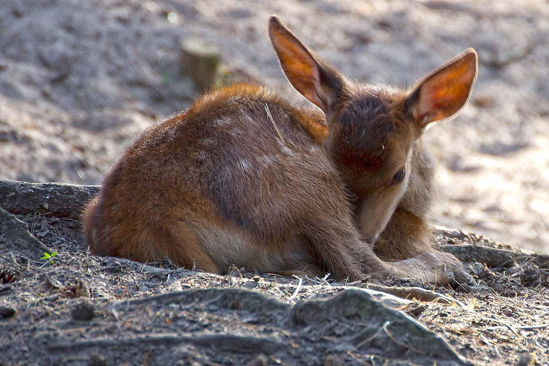 Hirschkalb im Wildpark Schorfheide