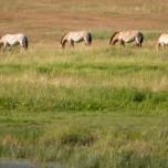 Herde Przewalski-Pferde