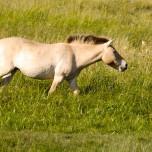 Przewalski-Pferd IV