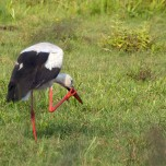 Storch III