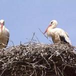 Kinderloses Storchenpaar