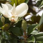 Große Blüte II