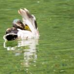 Sich putzende Ente