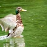 Flügelschlagende Ente