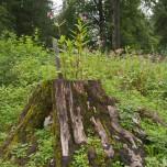 Lebender Baumstumpf