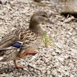 Ente auf einem Bein