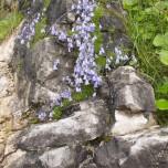 Glockenblumen I