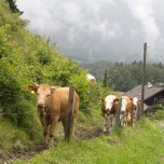 Kühe im Gänsemarsch