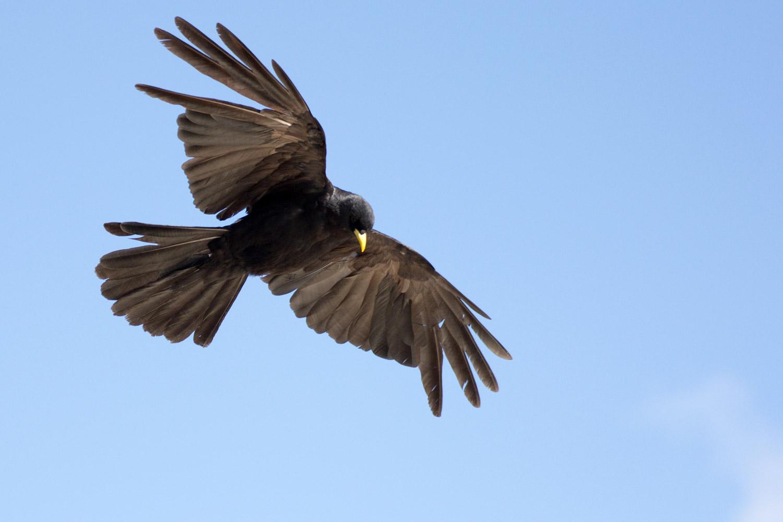 Fliegende Alpendohle