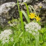 Blüten am Wegesrand, Alpen III