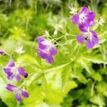 Blüten am Wegesrand, Alpen IV