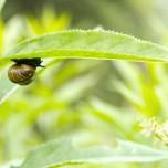 Weinbergschnecke unter einem Blatt
