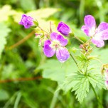 Blüten am Wegesrand in den Alpen
