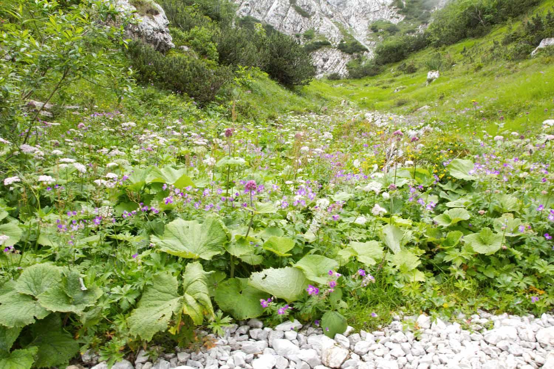 Hupfenleitenjoch Wanderung: Blütenteppich am Wegesrand