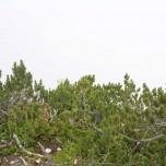 Krüppelkiefern und sonst nur Nebel