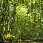 Durch Schwarzerlenwälder