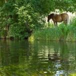 Pferd am Rhin