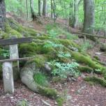 Wurzel der Schlangenbuche in Sitzendorf
