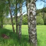 Birkenallee bei Breitenbach