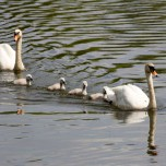 Schwanenfamilie auf dem Wörlitzer See