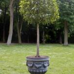 Baum im Kübel