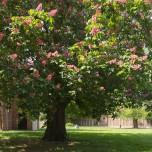Kastanienbaum an der St.-Petri-Kirche im Wörlitzer Park