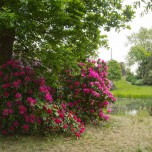 Rhododendron im Wörlitzer Park