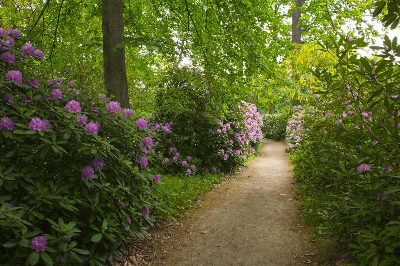 Weg durch Rhododendron