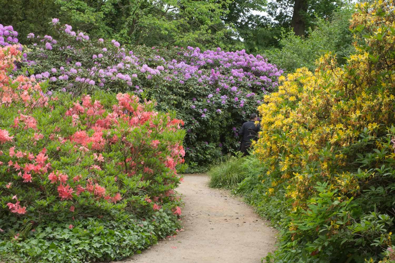 Rhododendron- und Azaleenblüte im Wörlitzer Park