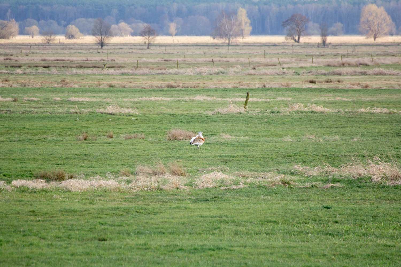 Belziger Landschaftwiesen mit balzendem Großtrappenhahn