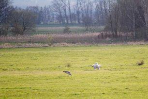 Balz der Großtrappen auf den Belziger Landschaftswiesen