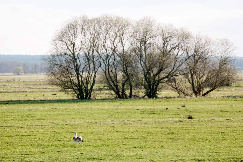 Grosstrappenhahn auf Belziger Landschaftswiesen