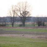 Belziger Landschaftswiesen mit Großtrappenhahn