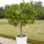 Echter Orangenbaum