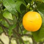 Echte Orange
