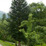 Exotischer Baum Baronie Rosendal